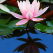 Water Lily — Stock Photo #1137396