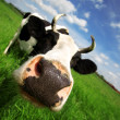 Funny cow in green field — Stock Photo #2781954