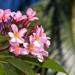 Tropical flower with leaf.Frangipani — Stock Photo #3318112