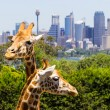 Giraffes with a fabulous view of Sydney — Stock Photo #37881669