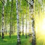 Birch trees — Stock Photo #1426602