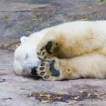 Polar bear — Foto Stock #1119604