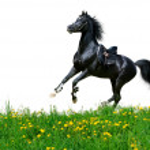Arabian stallion gallops in field — Stock Photo #2308965