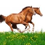 Trakehner stallions gallop in field — Stock Photo #2321315