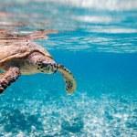 Hawksbill sea turtle — Stock Photo #4640432