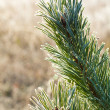 Frost fir branch — Stock Photo #1805452