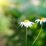 Ladybug on daisy — Stock Photo #1717062