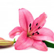 Pink lily — Stock Photo #1656383