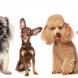 Group of young dogs — Stock Photo #3466699