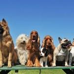 Nine dogs — Stock Photo #3161124