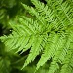 Macro fern frond — Stock Photo #1878148