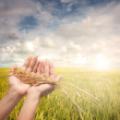 Hand holding harvested paddy — Stock Photo #4678639
