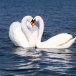 Swans fall in love — Stock Photo #1948100