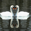 Two White swans swimming in a lake — Stock Photo #2060189