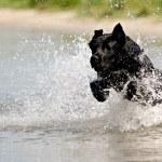 Black dog in water — Stock Photo #5286870