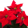 Poinsettia — Stock Photo #2938894