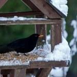 Blackbird in Snow — Stock Photo #6398935