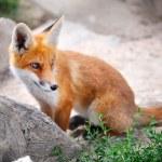 Red Fox Cub — Stock Photo #34452473