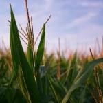 Retrato de una planta de maíz en un campo — Foto de Stock   #2492332