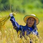 Woman cutting rice — Stock Photo #2547273