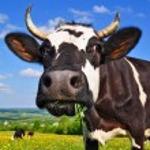 vache sur un pâturage d'été — Photo #19400319