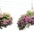 Two morning glory flower baskets in the hanging, — Stock Photo #27602463