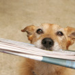 Dog with the daily news — Stock Photo #4714535
