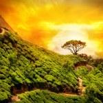 Tea plantation in Munnar — Stock Photo #16018079