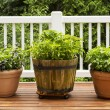 Home Herb Garden containing Large Flat Leaf Basil Plants — Stock Photo #29243215