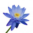 Blue Waterlily — Stock fotografie #9656454