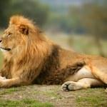 Beautiful Lion wild male animal portrait — Stock Photo #5506628
