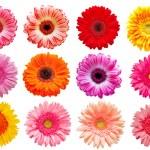 flor de Gerber — Foto de Stock   #6890197