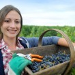 Closeup of woman in vineyard during harvest season — Stock Photo #13930409
