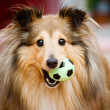 Sheltie — Stock Photo #6287695