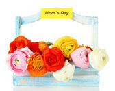 Ranunculus (persian buttercups) for mothers day, isolated on white — Stock Photo