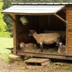 Sheep Refuge — Stock Photo #26278549