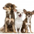 Group of Chihuahuas sitting, 2 years old, isolated on white — Stock Photo #36561281