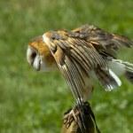 Barn Owl — Stock Photo #12001551