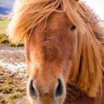 Iceland Horse — Stock Photo #38426773