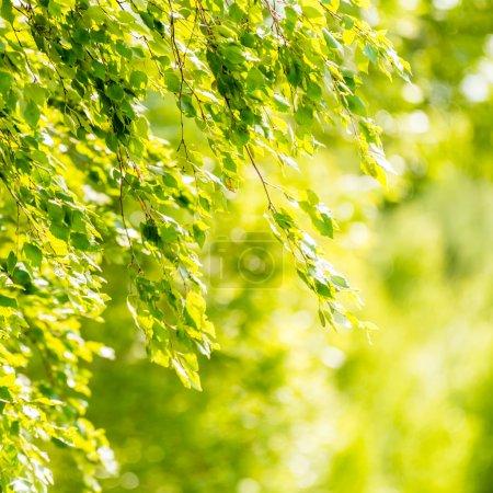 春天绿叶的白桦树_高清图片_邑石网
