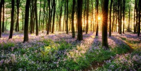 Path through bluebell woods