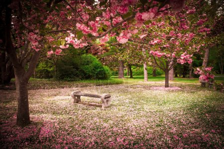 Cherry Blossoms and Bench