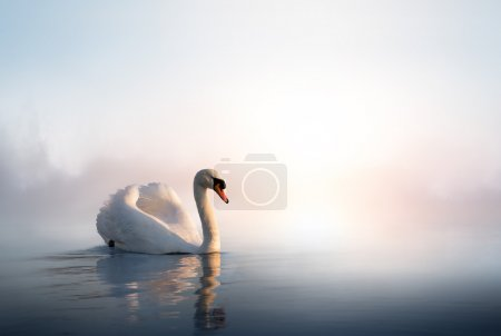 Art Swan floating on the water at sunrise of the day