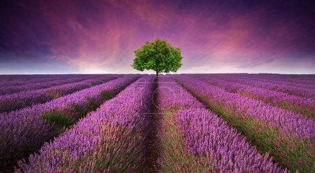 Stunning lavender field landscape Summer sunset with single tree