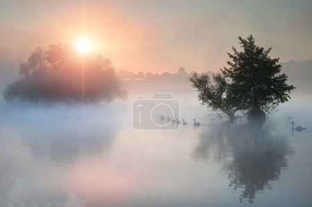 Familyof swans swim across misty foggy Autumn Fall lake at sunri