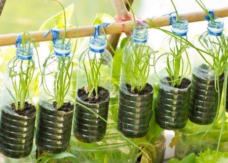 春天洋葱生长在用过水的瓶子,蔬菜植物为城市生活