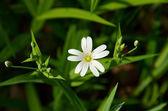 小小的白花,五倍花瓣撒满