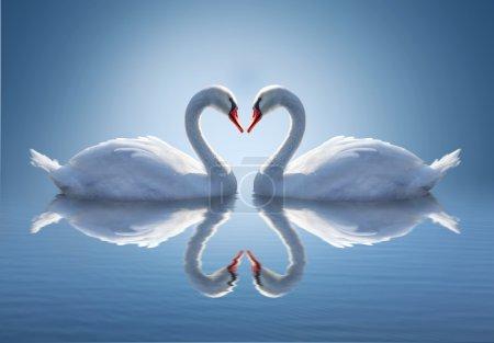 Romantic two swans,  symbol of love.