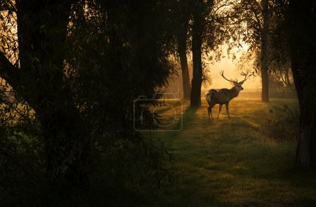 Beautiful deer in the forest with amazing lights at morning in October