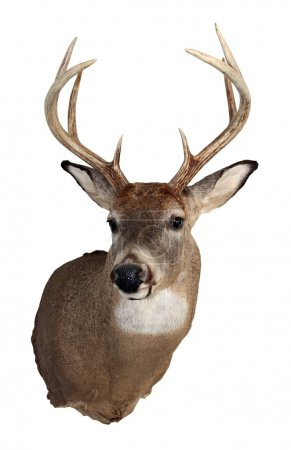 Whitetail Buck Isolated on White